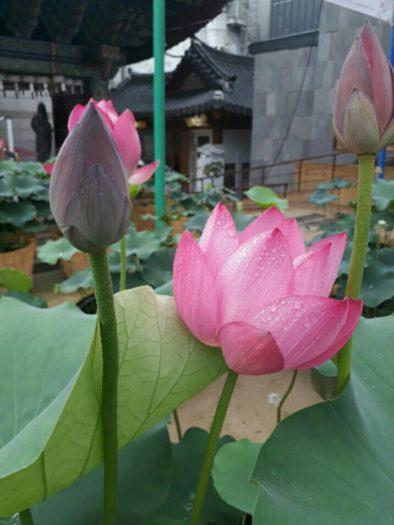 曹渓寺(チョゲサ)蓮祭り ソウルテンプルステイ体験