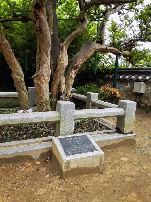 江陵烏竹軒(カンヌン オジュッコン)の樹齢600年のサルスベリ