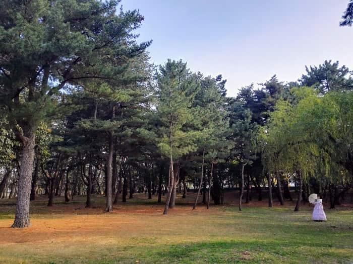 韓国慶州(キョンジュ)大陵苑(テヌンウォン)松の木