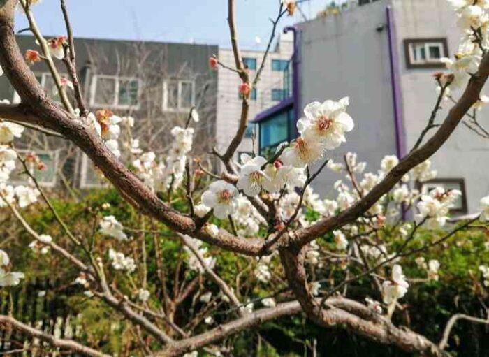韓国ソウル 桜の名所