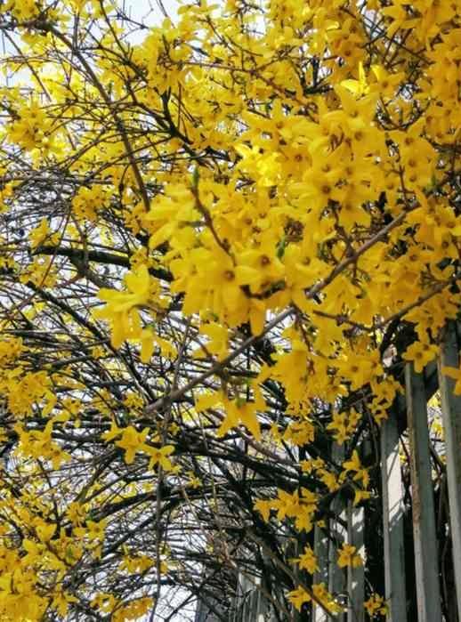 韓国の春の黄色い花ケナリ
