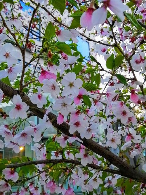 韓国ソウルの桜お花見スポット