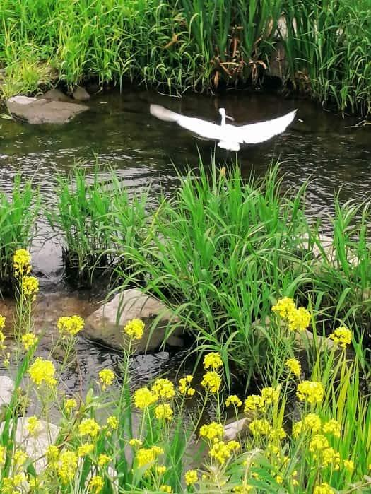韓国ソンブクチョン(城北川)小川の鳥