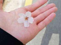 韓国ソウル 桜が見れるところ